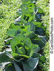 Green cabbage growing in the field