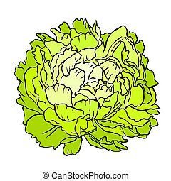 Green cabbage head on white background. Vector illustration