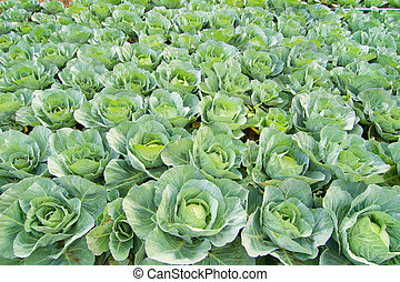 green cabbage  in field