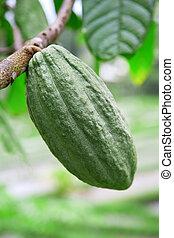 Green cacao pod on the tree