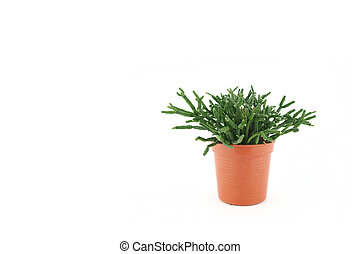 green cactus in the pot isolated on white