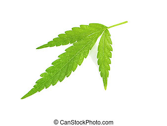 Green cannabis leaves an isolated on white background with clipping path