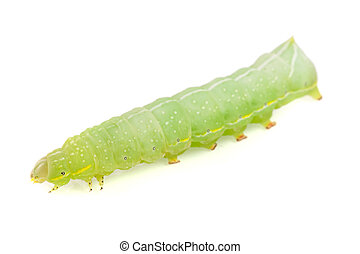 Green caterpillar isolated on white background close-up.