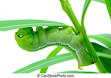 Caterpillar Oleander Hawk-moth - Green Caterpillar Oleander...
