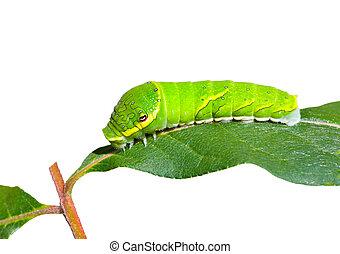 Green caterpillar on leaf 2