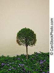 Green cedar tree