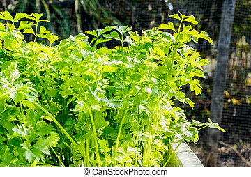 Green celery in growth at vegetable garden