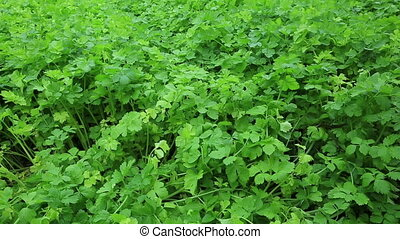 green celery plant in growth