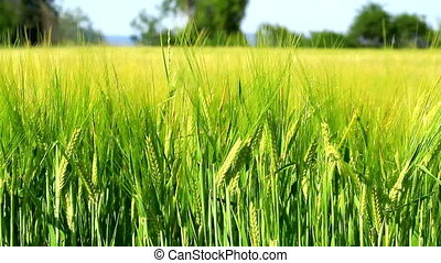 Cereal field - Green Cereal field