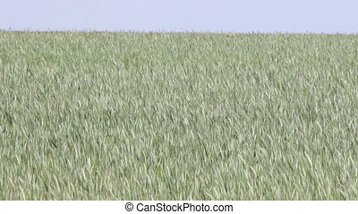 Green cereal Field