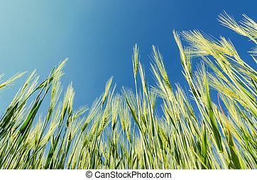 green cereal plant under deep blue sky