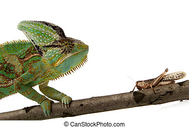 chameleon and cricket - green chameleon and cricket on a...