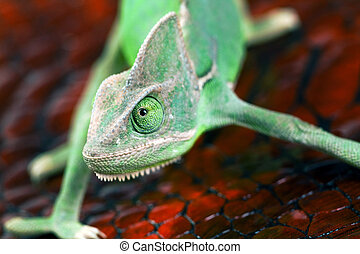Green chameleon.
