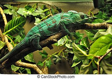 Green chameleon lying on a tree branch.