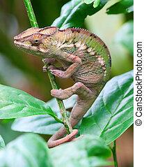 Green chameleon on the tree