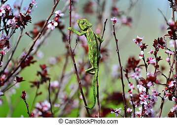Green chameleon swinging on a branch