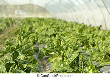 green chard cultivation in a hothouse field, Spain