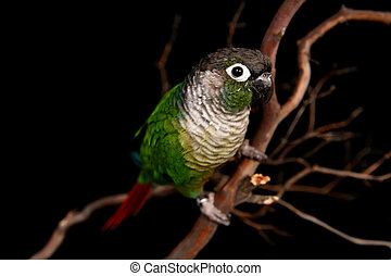 Green Cheek Conure on a Tree Branch