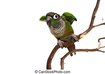 Green Cheek Conure On Branch Ready to Fly Away