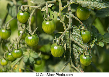 green cherry tomatoes - immature cherry tomatoes in the...
