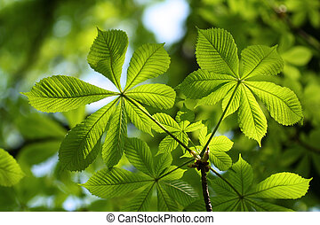 Green Chestnut Leaves in beautiful light