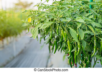 Green chili pepper plant on field agriculture in garden.