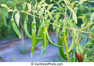 Green chili peppers on the tree in garden