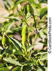 Green chilli pepper in the garden