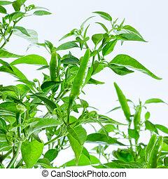 green chilli pepper plant on white background