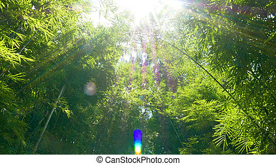 Chinese bamboo forest with sunlight