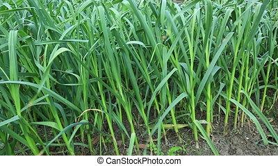green chinese garlic in growth - green chinese garlic in...