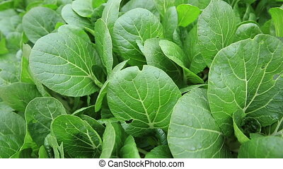 Green choy sum in growth - Green choy sum in growth at...