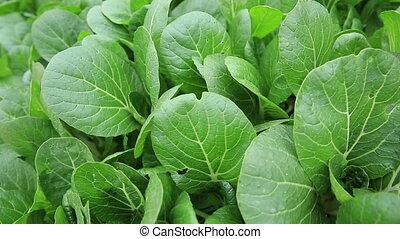 Green choysum in growth