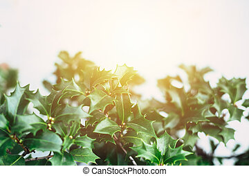 green christmas plant closeup leaf isolated on white with sun light.