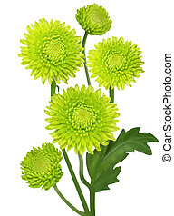 Green Chrysanthemum - Fresh green chrysanthemum flowers...