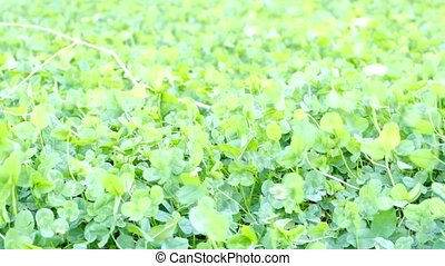 Green clover background on the wind