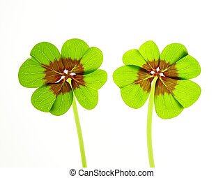 green clover - Close-up of green four clover leaf against ...
