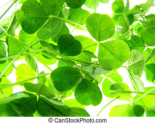 green clover - Close-up of green four clover leaf against...