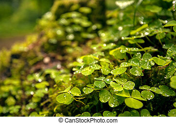 Green clover leafs in the forest