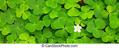 Green clover leaves background . - Green clover leaves...