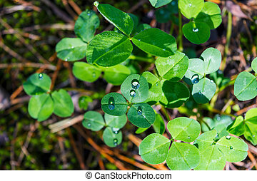 Green clover leaves with dew drops
