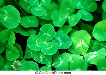 Green clover patch - a background of a green clover patch ...