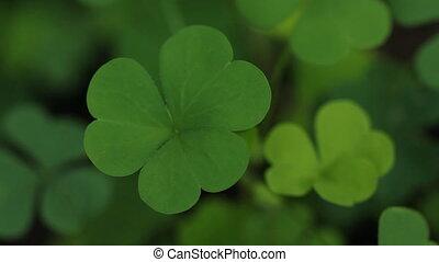 Green clover. - Closeup of green clover.