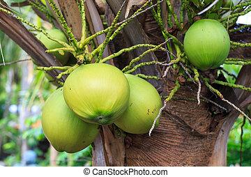 green coconut at tree