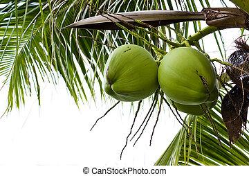 Green coconut on tree