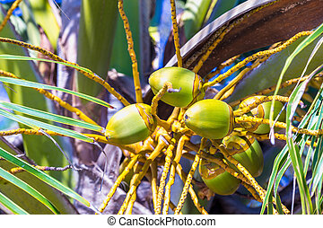 Green coconuts on the palm