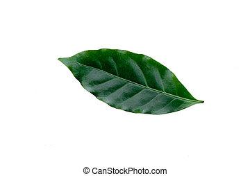 Green coffee leaf on white background