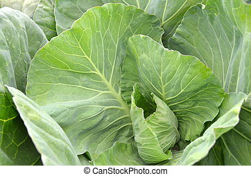 Green collard in the garden - Fresh and ripe green collard...