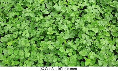 Green coriander in growth at vegetable garden