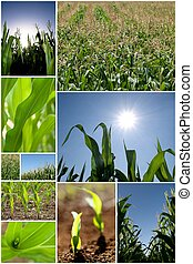 Green corn collage - Collection of green corn field pictures
